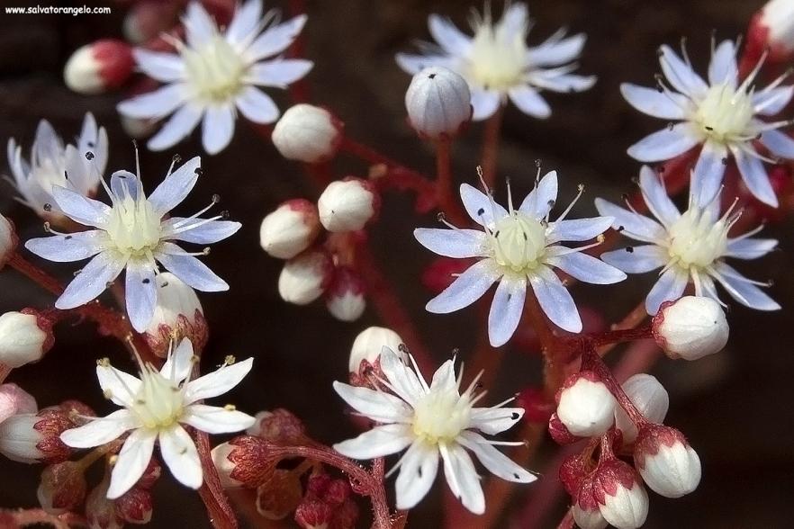 Sedum caeruleum - Sardegna