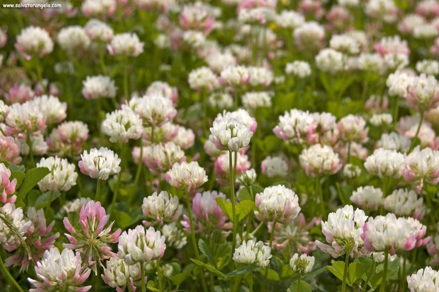 Trifolium Pratense - Sardegna